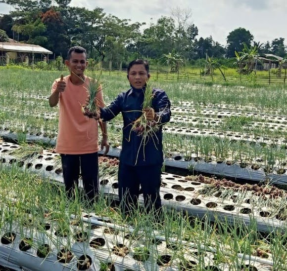 Dukung Ketahanan Pangan, Ketua DPRD Kabupaten Siak Puji Panen Raya Bawang Petani Mekarjaya